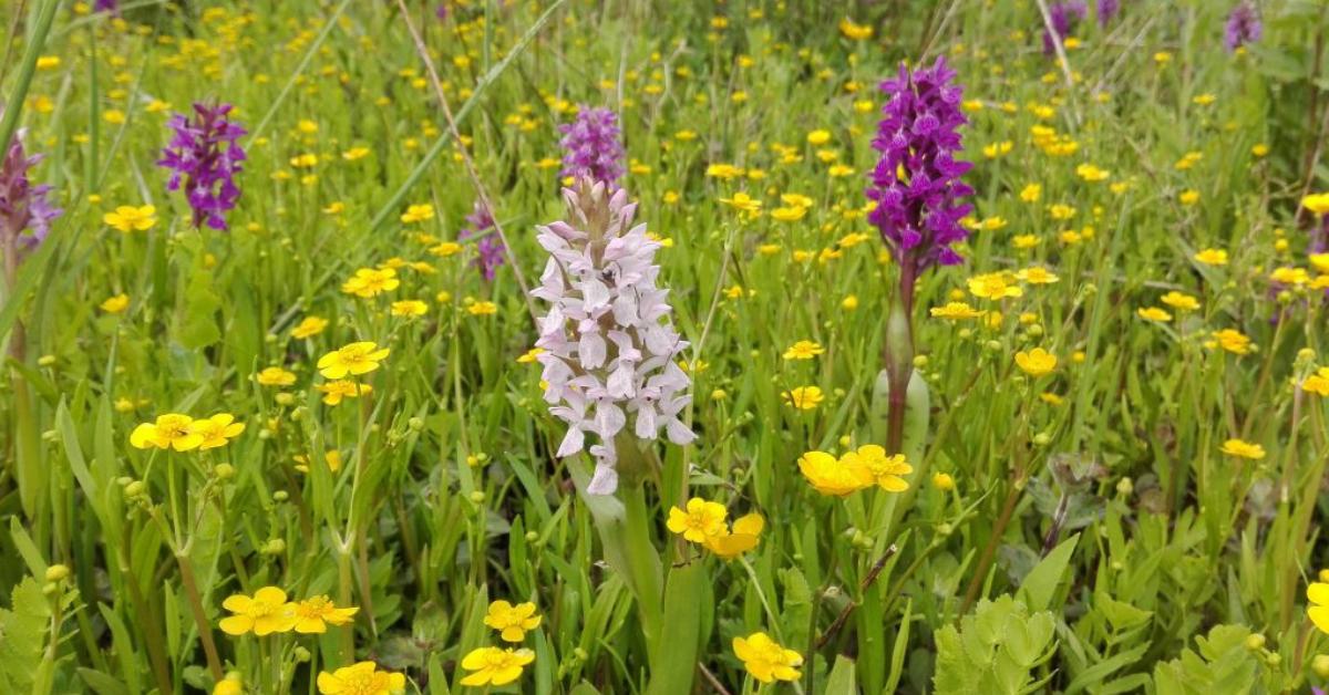 Orkidéer i Lillebaelt